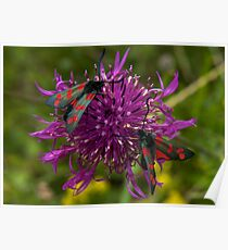 """Greater Knapweed with """"6-spot Burnet"""" Moths Poster"""
