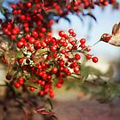 Holiday Hummingbird in Christmasberry by Susan Gary