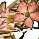 Desert rose...Got Featured Work by Kornrawiee