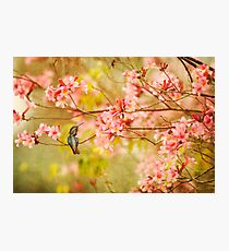 Allens Hummingbird with Spring Blossoms Photographic Print