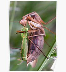 Headless mating mantis Poster