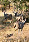 Kudu (2)  (Tragelaphus Strepsiceros) by Margaret  Hyde