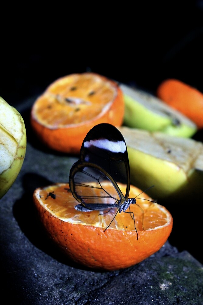 Glasswing Butterfly by Mandy Kerr