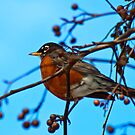 American Robin  by georgiaart1974