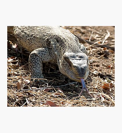 African Rock Monitor Photographic Print