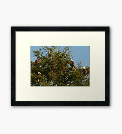 Four Bald Eagles Framed Print
