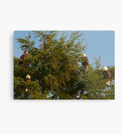 Four Bald Eagles Metal Print