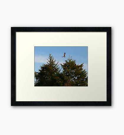 Fourteen Bald Eagles Framed Print