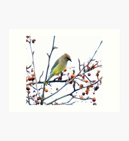 a Cedar waxwing considering which berry is best Art Print