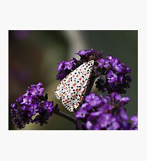 Crimson-speckled moth Photographic Print