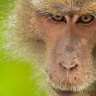Macaque stare by emmelined