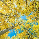 Golden Aspen Tree Forest Canopy by Bo Insogna