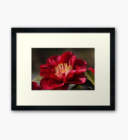Camellia's In Style Framed Print