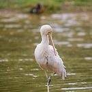 Yellow Billed Spoonbill by inthewild