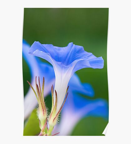 Blue Morning Glory Poster