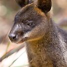 Swamp Wallaby by inthewild