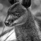 Swamp Wallaby BW by inthewild