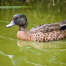 Chestnut Teal  by inthewild