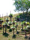 grasstrees by Margaret  Hyde