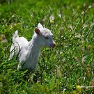 Billy Goat by dazzleng