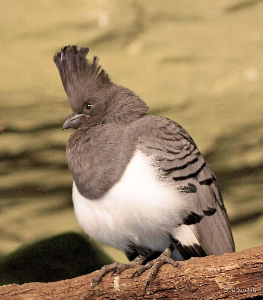 White Bellied Go-Away Bird by SuddenJim