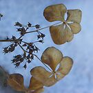 Winter Hydrangea - hanging on! by MaryinMaine