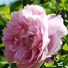 Pink rose by durzey