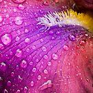 Colorful Iris by Oscar Gutierrez