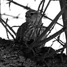 Sparrow Hawk with his Prey by tuffcookie