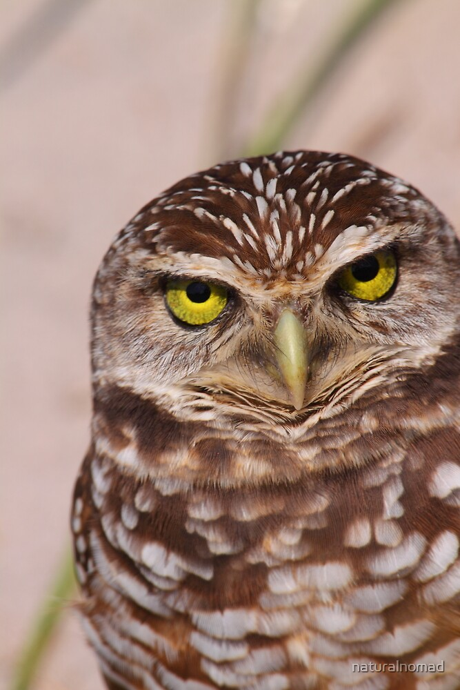 Burrowing Owl by naturalnomad