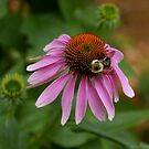 cornering a coneflower by katpartridge