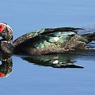 Muscovy duck with water reflection 3 by Anthony Goldman