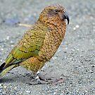 A Kea. Outside The Homer Tunnel. South Island, New Zealand. by Ralph de Zilva