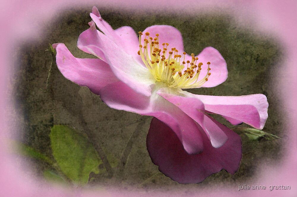 Pink rose Textured by julie anne  grattan