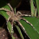 Brazilian wandering spider, Peru by Erik Schlogl