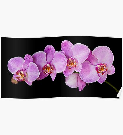 Red Phalaenopsis Orchid Poster