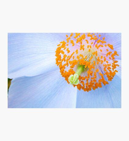 Blue-poppy (Meconopsis) Photographic Print