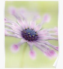 Osteospermum Whirligig Poster