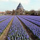 Blue hyacinths in a field by bubblehex08