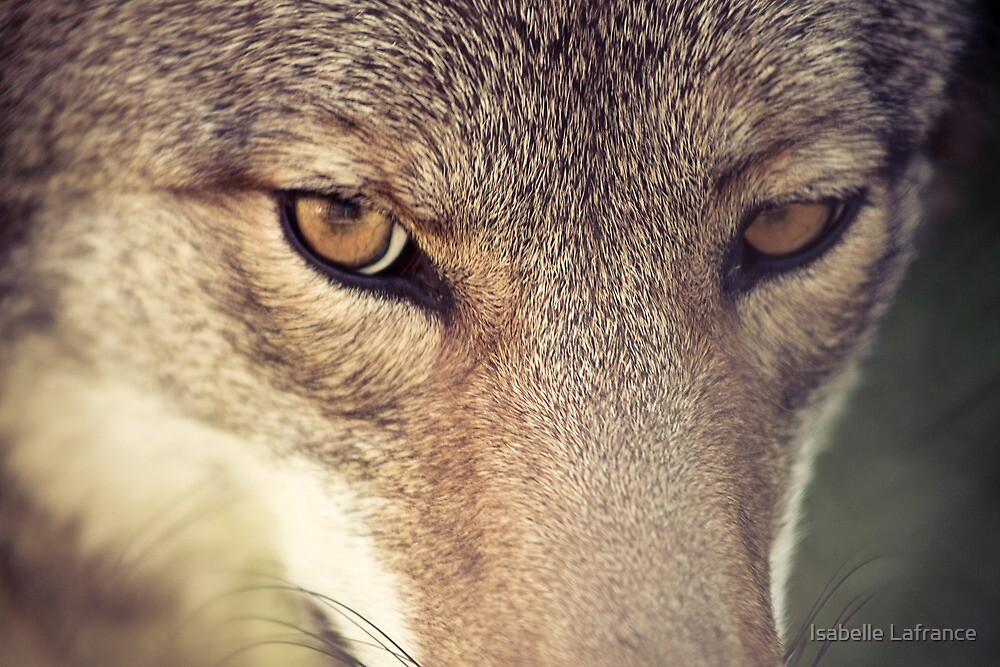 Quot In The Eyes Of The Coyote Quot By Isabelle Lafrance Redbubble