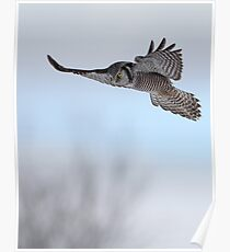 Northern Vertical / Northern Hawk Owl Poster