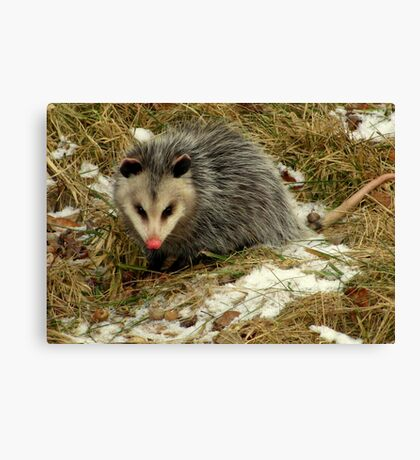 Virginia Opossum Out for a Snack Canvas Print