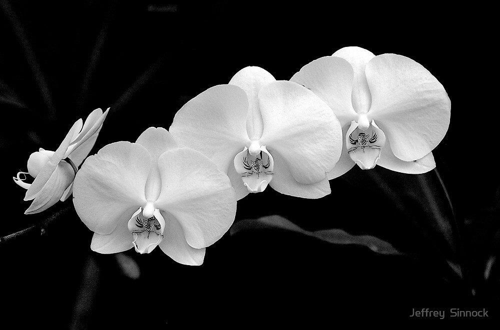 Four white Orchids by Jeffrey  Sinnock