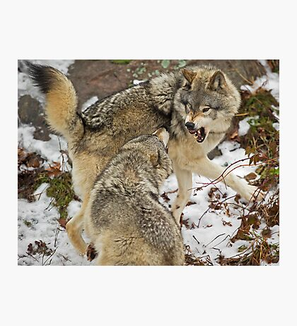 Mild confrontation Photographic Print