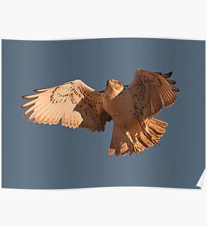 0104112 Ferruginous Hawk Poster