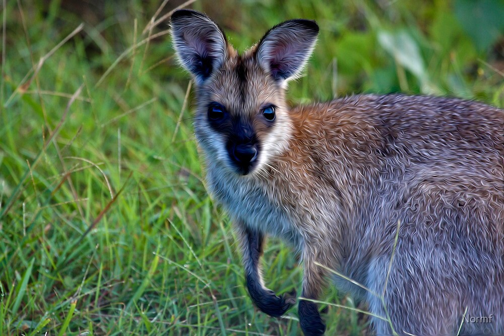 Red Necked Wallaby  (Macropus rufogriseus banksianus)  by Normf
