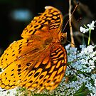 Great Spangled Fritillary 3 by Brook Winegardner