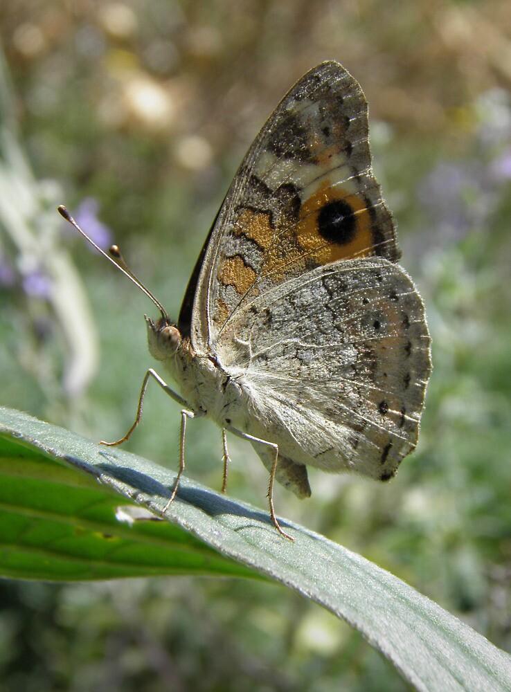 Meadow Argus Butterfly (Junonia villida) - Carrick Hill, South Australia by Dan Monceaux