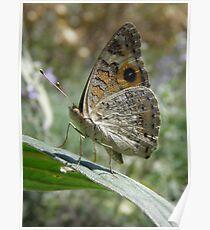Meadow Argus Butterfly (Junonia villida) - Carrick Hill, South Australia Poster