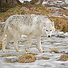 Wolf Walk by Daniel  Parent